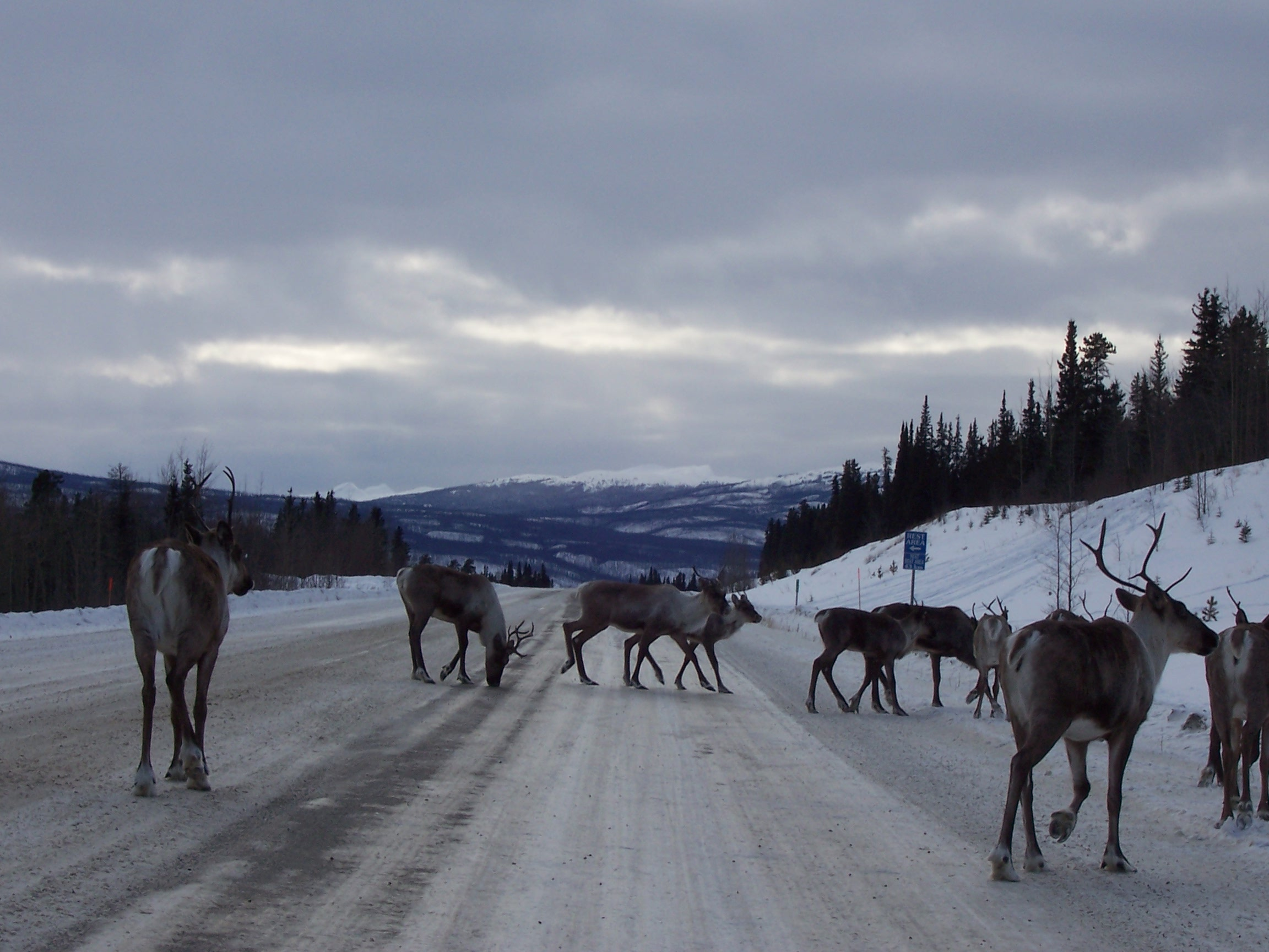 Caribou Crossing on Road to Watson Lake, YT